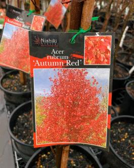 Maple 'Autumn Red'