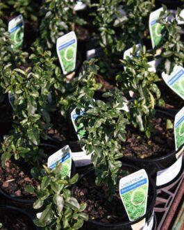 Box Leaf Privet