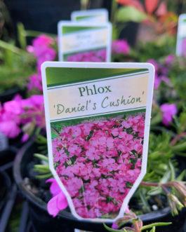 Phlox 'Daniels Cushion'