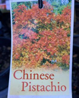 Chinese Pistachio