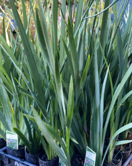 Dietes 'Wild Iris'