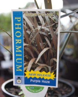 Phormium 'Purple Haze'