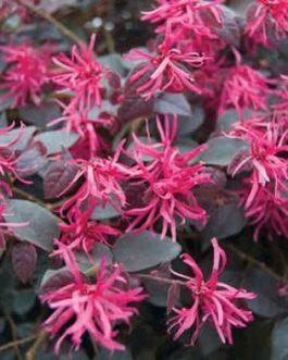 Loropetalum 'China Pink'