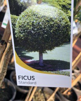 Standard Ficus