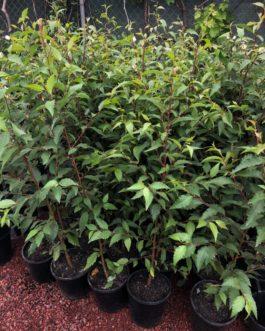 Evergreen Alder