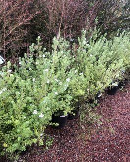 Westringia 'Native Rosemary'