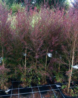 Leptospermum 'Burgundy'