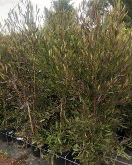 Purple Hop Bush (Dodonea)