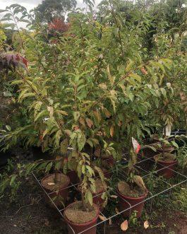 Flowering Plum 'Elvins'