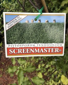 Pittosporum 'Screenmaster'