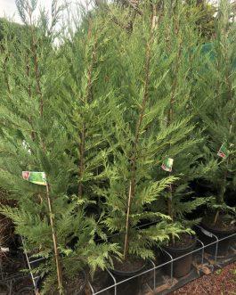 'Leighton Green' Conifer