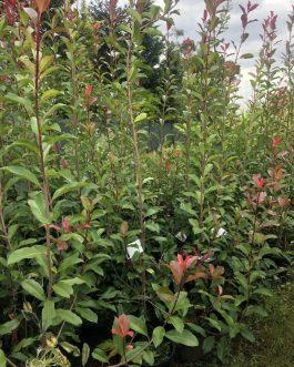 Photinia robusta