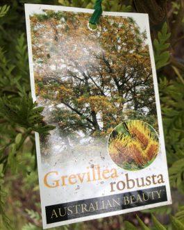 Grevillea 'Silky Oak'