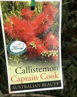 Callistemon 'Captain Cook'