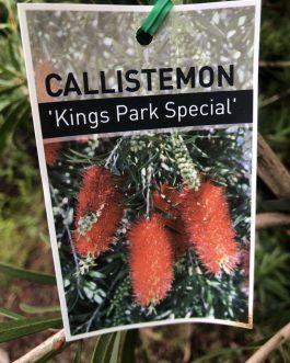 Callistemon 'Kings Park Special'