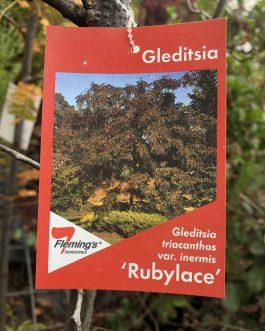 Gleditsia 'Ruby Lace'