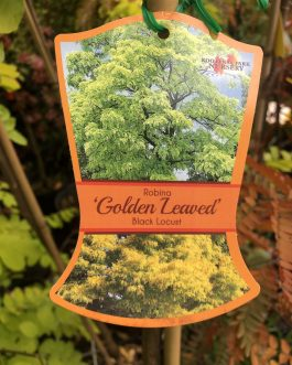 Golden Robinia