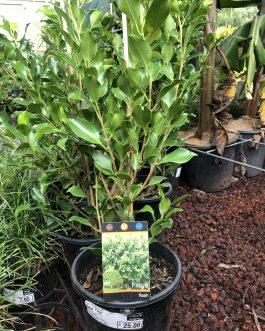Ficus 'Flash'