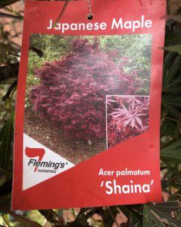 Japanese Maple 'Shaina'