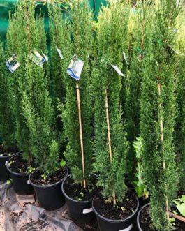 Glauca 'Green Pencil Pine'