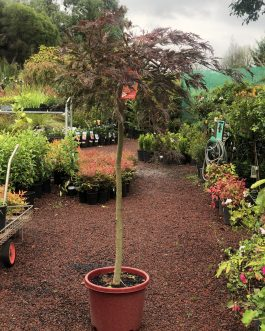 Weeping Japanese Maple – Red