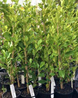 Ficus 'Emerald'