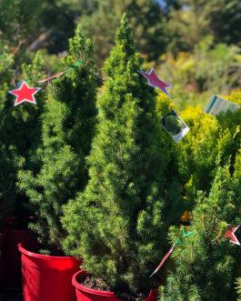 Picea 'Albertiana Conica' (Christmas Star)
