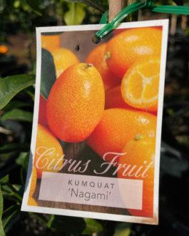 Cumquat 'Nagami'
