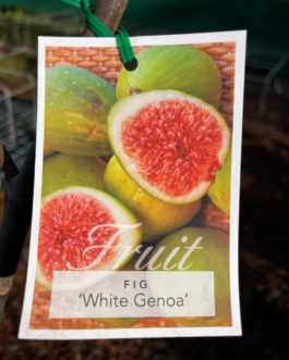 Fig Varieties