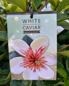 Magnolia 'White Caviar'