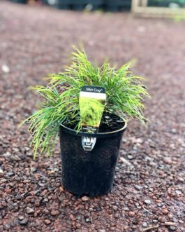 Acacia 'Mini Cog'