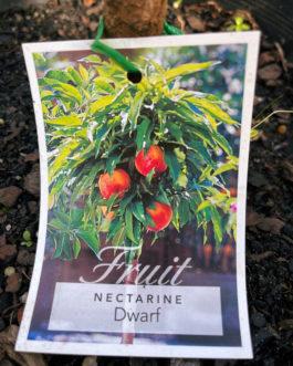 Dwarf Nectarine