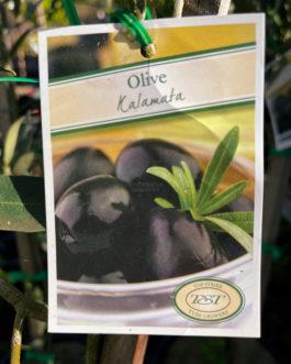 Olive 'Kalamata'