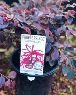 Loropetalum 'Purple Prince'