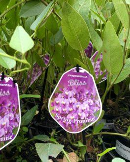 Hardenbergia Bliss 'Spring Promise'