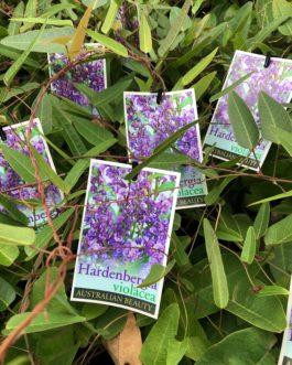 Hardenbergia 'Happy Wanderer'