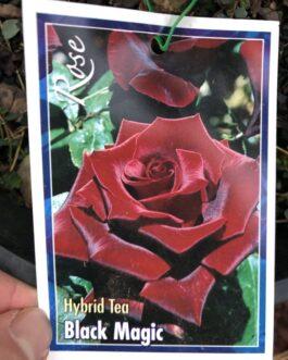 Rose 'Black Magic'