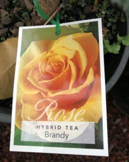 Rose 'Brandy'