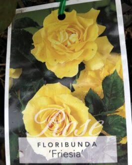 Rose 'Fresia'