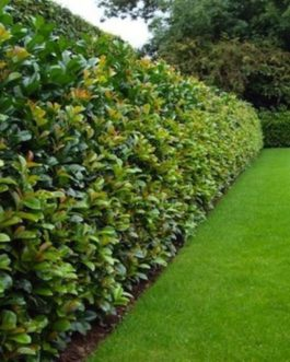 Tall Hedging