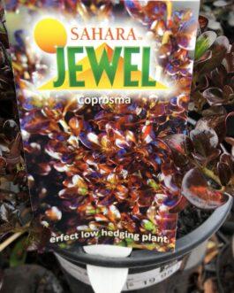 Coprosma 'Sahara Jewel'