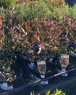 Leptospermum 'Copper Glow'