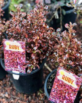 Coprosma 'Sahara Ruby'