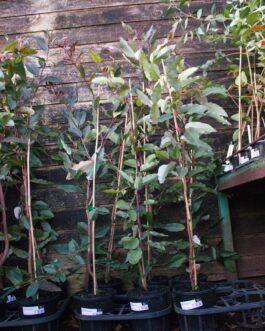 Corymbia 'Red Flowering Gum'