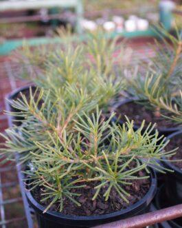 Banksia 'Honeyeater Delight'