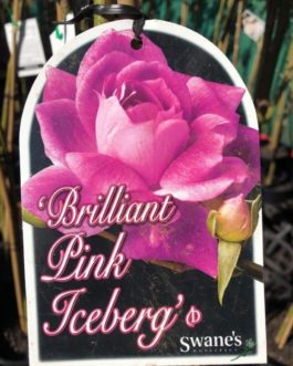 Rose 'Brilliant Pink Iceberg'