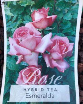 Rose 'Esmeralda'