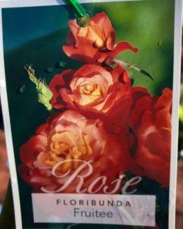 Rose 'Fruitee'