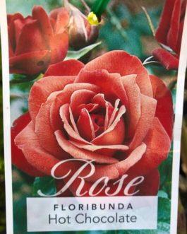 Rose 'Hot Chocolate'