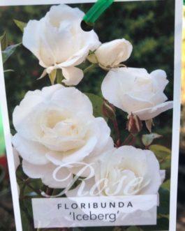 3ft Standard Roses